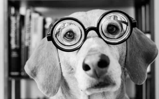 собака, очки, white
