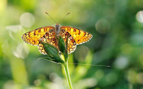 бабочка, дружит, бабочки, цветы, макро, бабочкой, травою, природа, fone, крылья, зеленом,