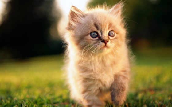 котик, пушистый, кот, котэ,