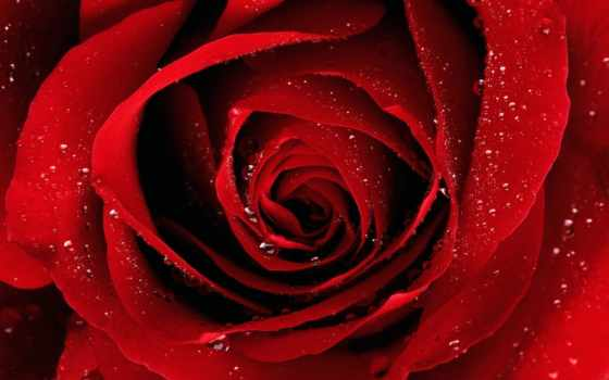 роза, розы, весь