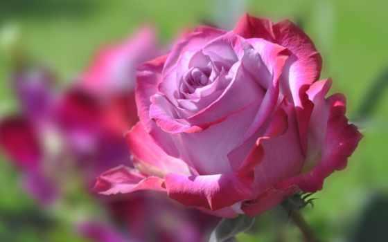 роза, природа, roses, landscape, this, flowers, цветы,