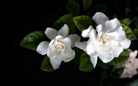 fone, черном, white, branch, гардения, цветущей, белые, гардении, pinterest, орхидеи,