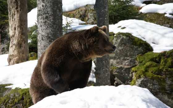 медведь, лесу, браун