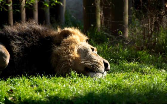 lion, отдыхающий, забавные, львы, card, котятами, лежит, отдыхает, львица, zhivotnye,