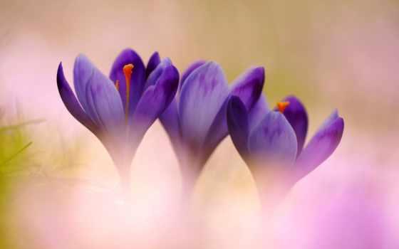 цветы, крокусы, афоризмы