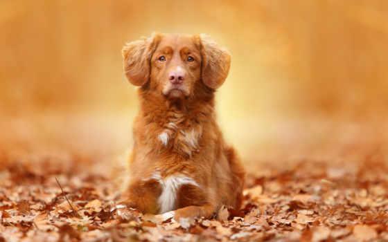 осень, собака, листва, листья, desktop, portrait,