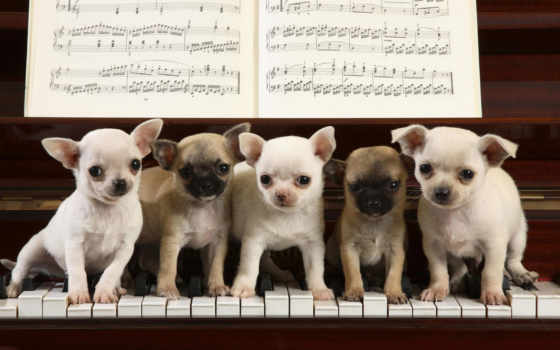 piano, чихуахуа, sur, pinterest, puppies, souris, playing, dogs,