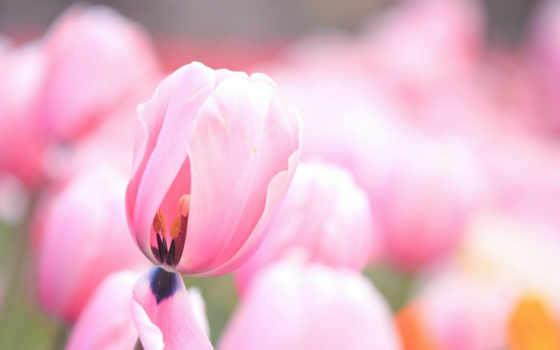 тюльпаны, cvety, flowers, тюльпан, нежные, бутоны, розовые, tulips, цветы,