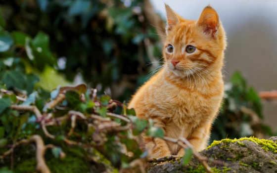 кот, red, картинка, abyss, котенок, non, фон, смотреть,