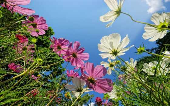 cvety, космея, лепестки,