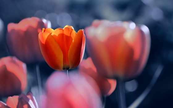 ,, лепесток, цветок, тюльпан, оранжевый, весна,  ботаника, plant stem,