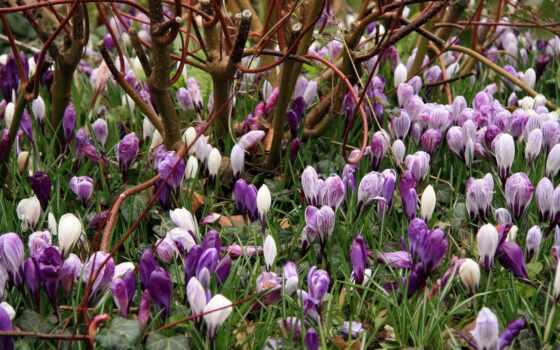 цветы, весенние, весна