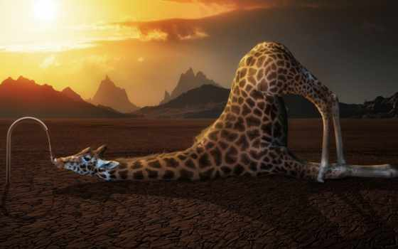 август, funny, desktop, жираф, full, thirsty,