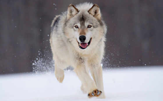 собака, волк, dogs, wolves, running, об,