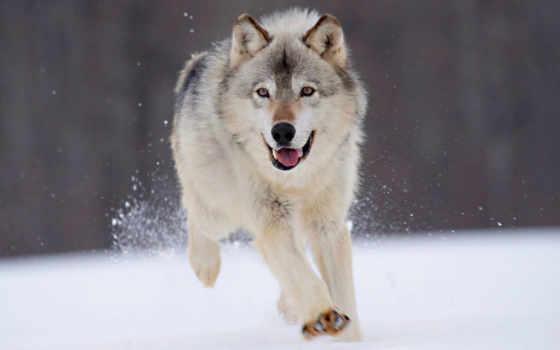 собака, волк, dogs