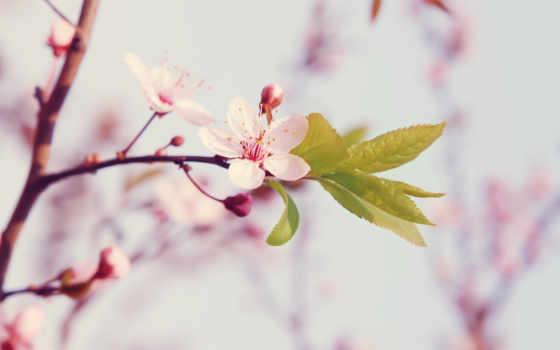 цветение, весна, cvety, cherry, цветы, лепестки, Сакура, природа, цветки, макро, branch,