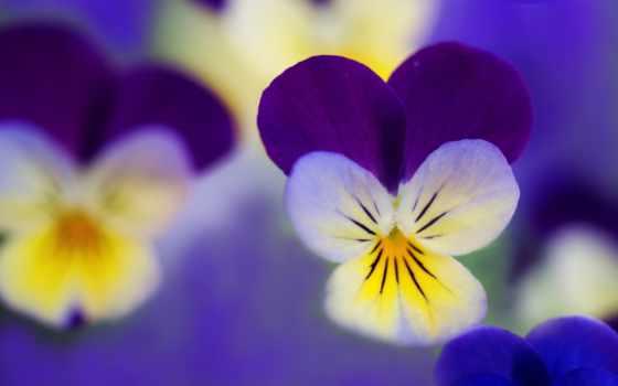 глазки, анютины, цветы