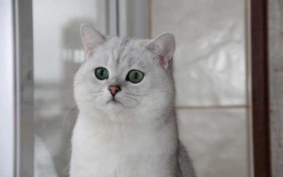 chinchilla, британская, кот, зеленые, свет, окно,
