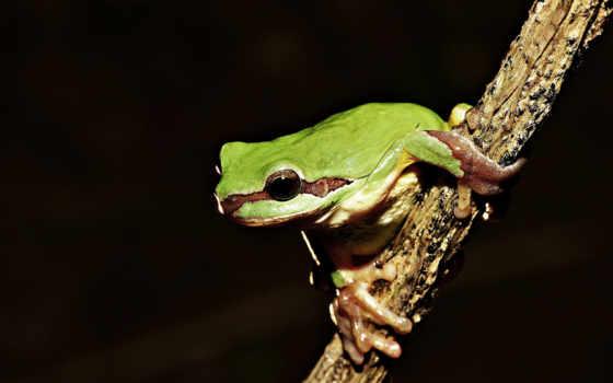 лягушка, zhivotnye, зелёная