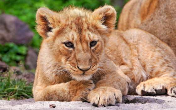 львенок, lion, морда, лежит, львенка, львица, близко, траве, детёныш, малыш,