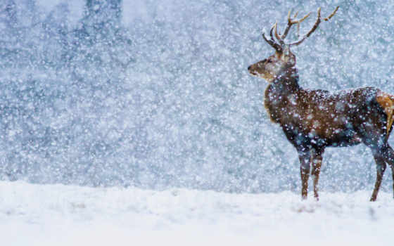 лань, winter, снег, zhivotnye, категория, добавлено,