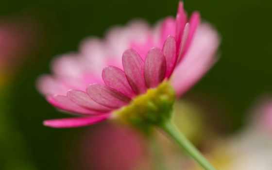cosmos, растение,