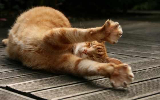 рыжий, кот