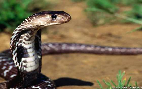 snake, змеи, змей