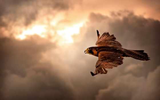птицы, хищные, falcon