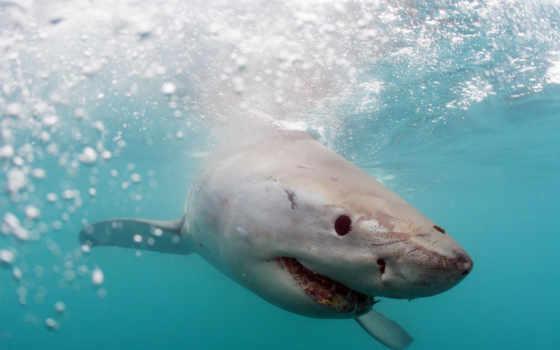 акула, white, акулы, iphone, мониторе, тысячи, zhivotnye, отсортированные,
