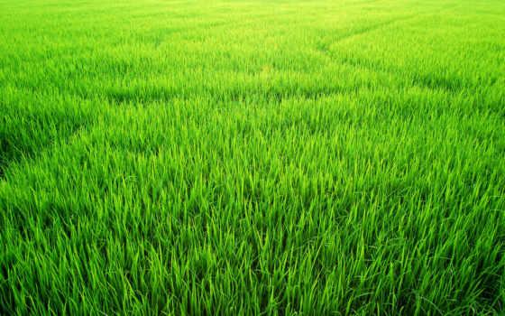 поле, рис, зелёный, stock, images, paddy, photos, royalty, free, трава,