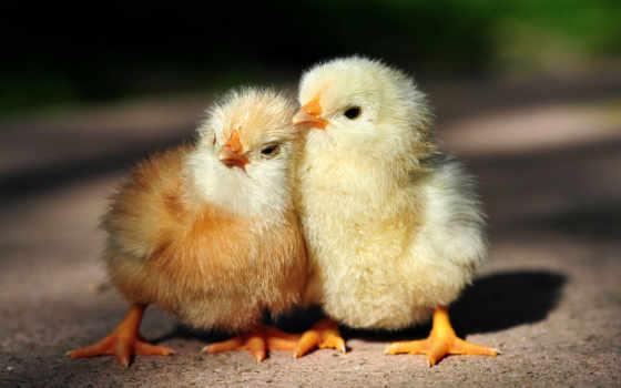 кур, породы, куры, несушек, пород, несушки, admin, цыплят, домашних,