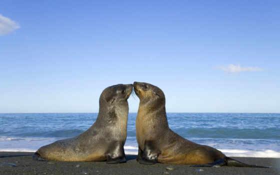 котики, тюлень, морские, zhivotnye, море, морський, целует, котиков, изображение, морских,