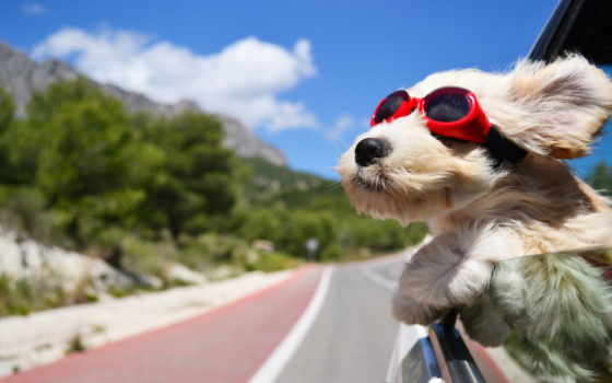 взгляд, собака, preview, морда, ветер, машины, снег, кот, машина, окна, машине,