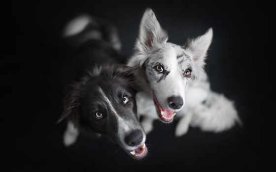 border, колли, собака, собаки, взгляд,