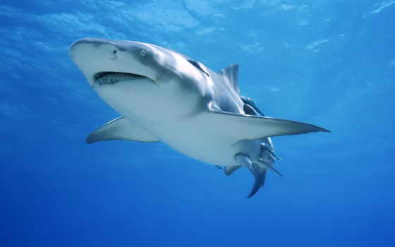 акула, красивый, living, ocean, поплавок, фон, dwell