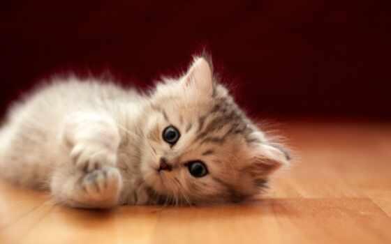 british, длинношерстный, semi, кот, length