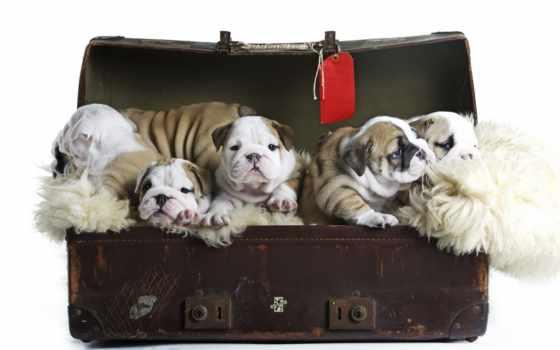 бульдог, english, собаки, щенок, животные,