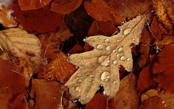 листья, осень, капли, дуб, роса, лес,