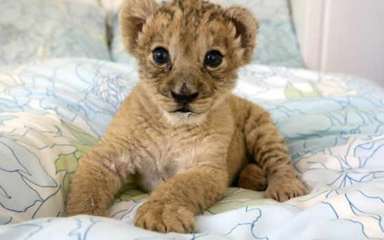 lion, львенок, качества, высокого, котенок,