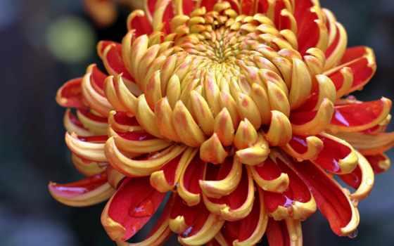 cvety, хризантемы,