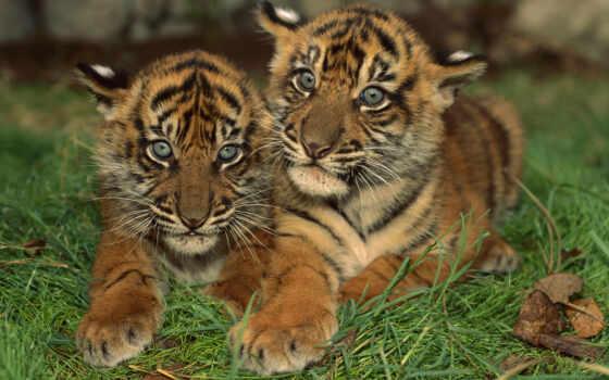 тигрята, котята, два