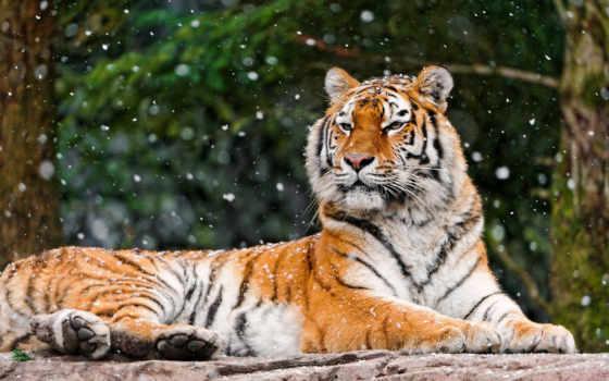 тигр, лежит, тигры