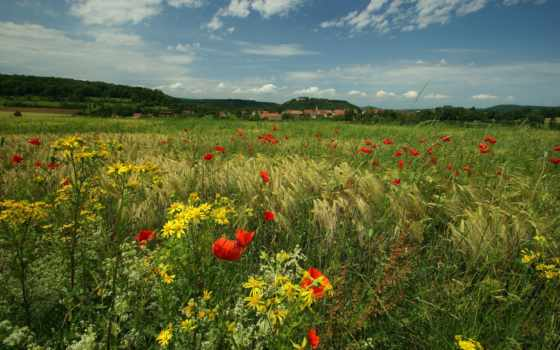 цветы, луг, маки, трава, природа,