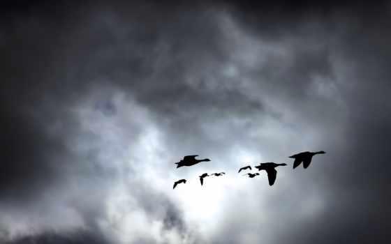 лебеди, птицы, zhivotnye, гуси, небе, nick, качественная, коллекция, самая, большая, stoynoff,