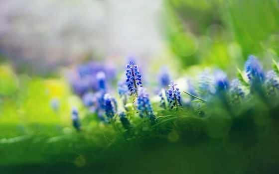 flowers, cvety, muscari, синие, мускари, трава, природа,