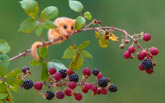 sonja, орешниковая, мушловка, млекопитающее, семейства, грызунов, small, соневых, отряда, ветке,