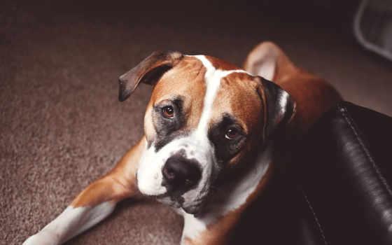 собака, boxer, собак, друг, породы, смотреть,