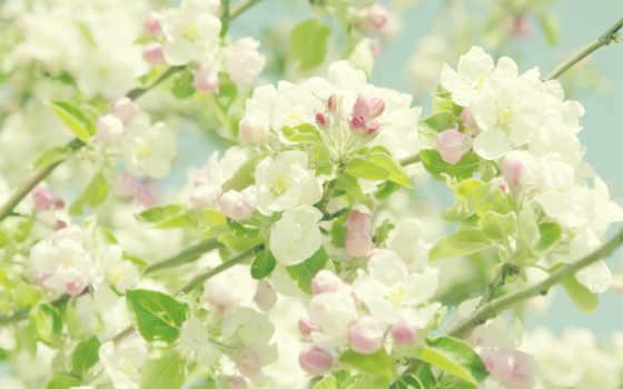 яблоня, цветущая, разных, разрешениях, summer,