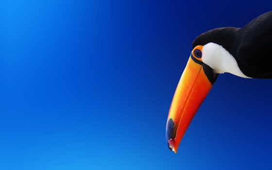птица, toucan, смотреть, user, exotic, клюв, коллекция, тематика
